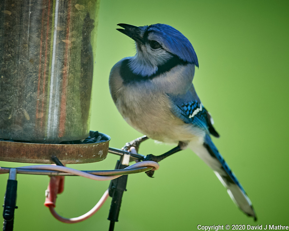 Blue Jay. Image taken with a Nikon D5 camera and 600 mm f/4 VR telephoto lens (ISO 640, 600 mm, f/5.6, 1/1250 sec).