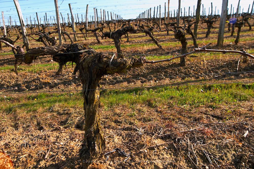 guyot double training old vine vineyard chateau pey la tour bordeaux france