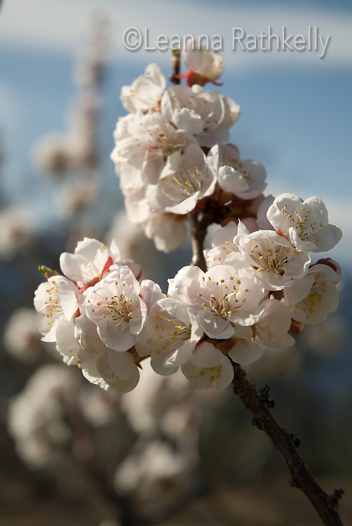 Apricot tree in blossom, spring in the Okanagan, BC Canada.