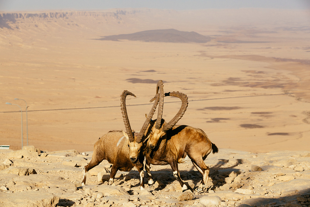 Male Nubian Ibex fight for the right to breed by pushing against each other with their horns near the edge of the Ramon Crater (Makhtesh Ramon in Hebrew), the world's largest erosion crater in the Negev desert, southern Israel, on October 19, 2017.