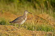 Willet (Tringa semipalmata)<br />Grasslands National Park<br />Saskatchewan<br />Canada