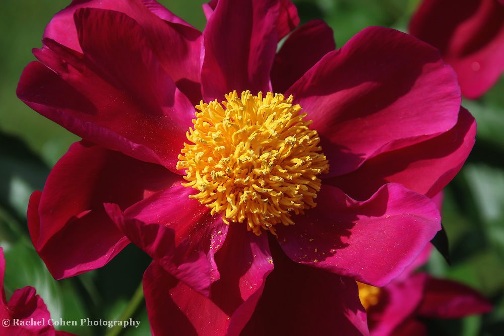 """""""Peony Pixie Dust""""<br /> <br /> Bright deep pink peony with large golden center and dusted with pollen."""
