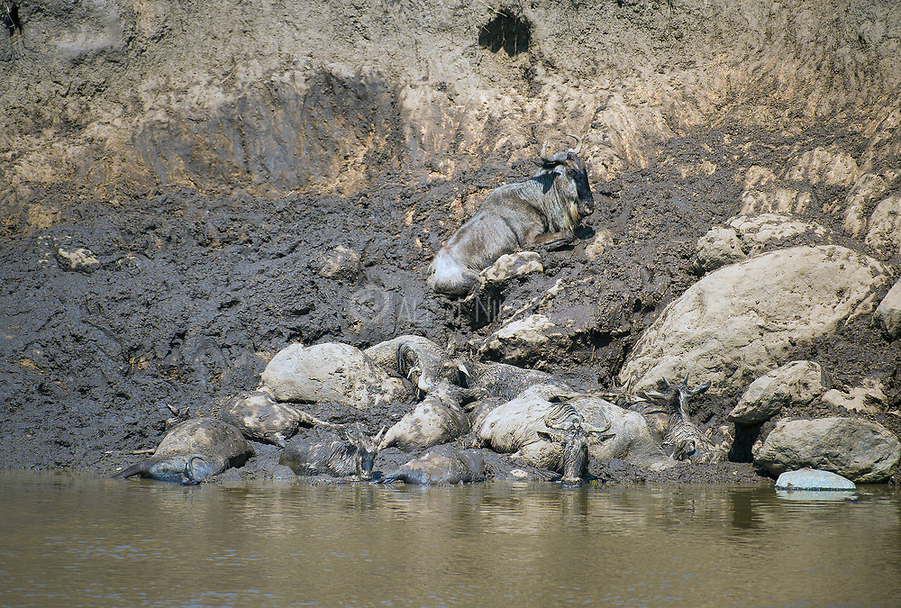 Dead and dying wildebeests stocked in the mud after crossing Mara River (Kenya) during the annual great wildebeest migration.