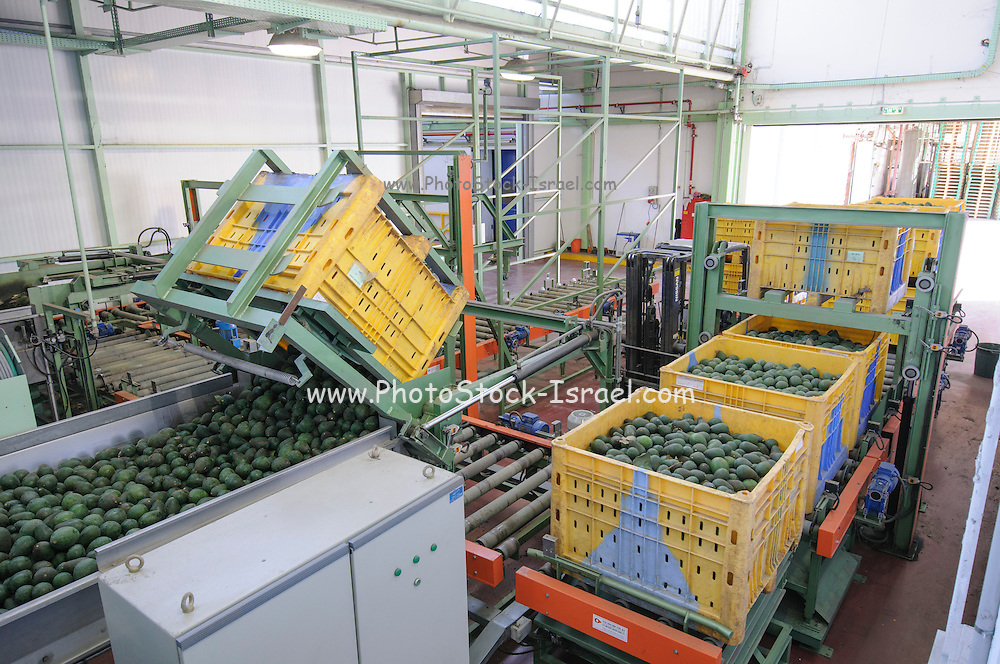 Computerized Avocado sorting and packing plant. Photographed in Israel Crates of freshly picked avocados are brought into the line
