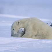 Polar bear mother with a very young cub recently out of the den. Canada