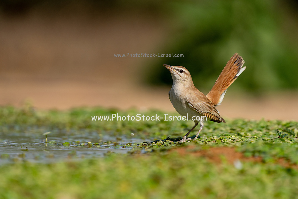 Rufous-tailed scrub robin (Cercotrichas galactotes) on the ground. Photographed in Israel