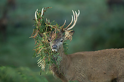 © Licensed to London News Pictures. 26/09/2015. City, UK. A stag with fern caught in it's antlers sunrise on a misty cold Autumn Morning in Richmond Park, London. Photo credit : Ian Schofield/LNP