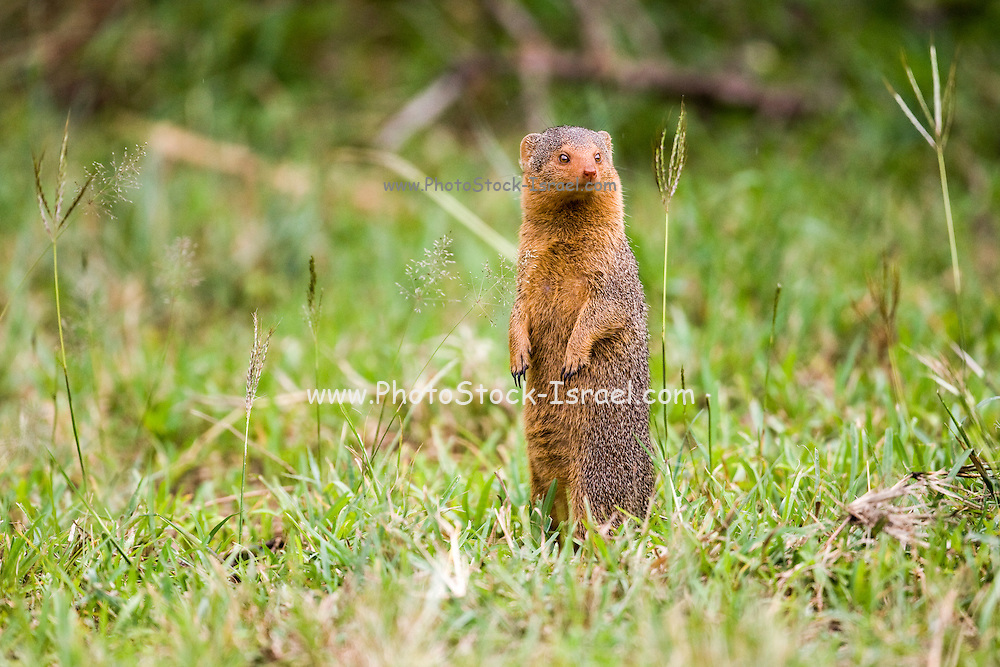 Alert dwarf mongoose (Helogale parvula) near a termite mound. This small carnivore is highly social, living in large groups of up to 20 individuals. Mongoose colonies occupy old termite nests or the burrows of other animals, which they adapt to their own requirements. The dwarf mongoose has keen eyesight and uses the top of termite mounds as a lookout post, watching for predators and other marauding mongoose colonies. If the alarm is given, the young are taken inside to safety. Photographed in Tanzania