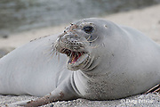 Hawaiian monk seal, Monachus schauinslandi ( Critically Endangered ), 2.5 year old male finishing annual molt with patches of old fur still clinging to forehead and flippers, Pu'uhonua o Honaunau ( City of Refuge ) National Historical Park, Kona, Hawaii ( the Big Island )