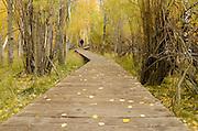 Man hiking on boardwalk trail through aspen forest, fall, Inyo National Forest, California