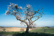 Cherry blossoming tree in the south of France Languadoc Aude region