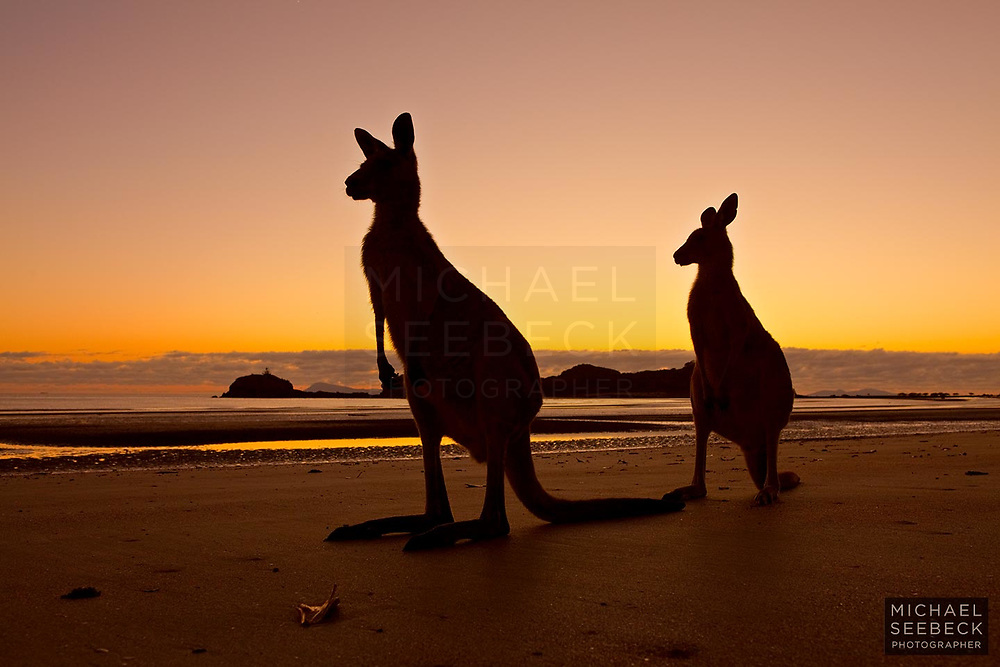 A photograph of two eastern grey kangaroos at the twilight of dawn on a remote beach. <br /> <br /> Limited Edition Print
