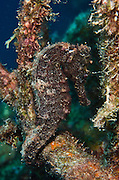 Longsnout Seahorse (Hippocampus reidi)<br /> BONAIRE, Netherlands Antilles, Caribbean<br /> HABITAT & DISTRIBUTION: Curl base of tail around branches of gorgonians or sea grass.<br /> Florida, Bahamas, Caribbean, Bermuda & Brazil.