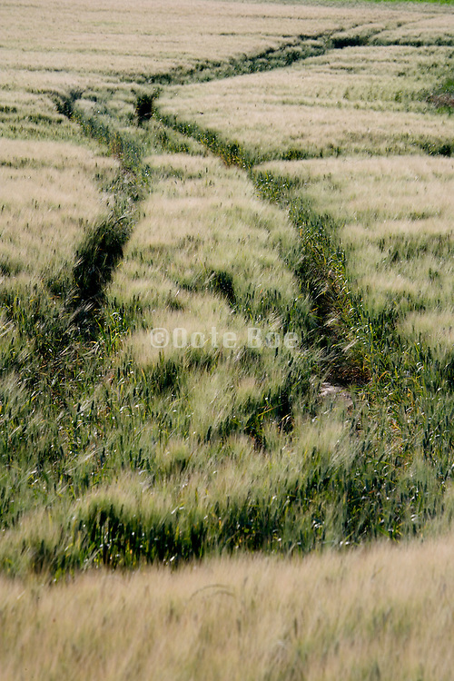 wheat filed with tractor track marks