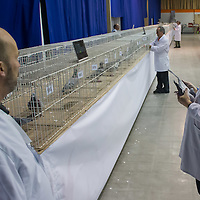 Judge inspects a bird during the 34th Pigeon Olympiad held in Budapest, Hungary on January 15, 2015. ATTILA VOLGYI