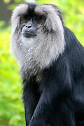 Apenheul is een gespecialiseerde dierentuin aan de rand van de Nederlandse stad Apeldoorn. De tuin ligt midden in het natuurpark Berg & Bos (200 ha). In Apenheul leven apen uit Afrika, Zuid-Amerika en Azië. De dieren leven er heel vrij: gaas of tralies ziet men er bijna niet. Sommige soorten lopen zomaar tussen de bezoekers rond. <br /> <br /> Op de foto:  wanderoe, baardaap of leeuwenstaartmakaak