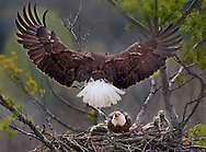 One of two adult bald eagles brings back prey for a nest of eaglets, May 13, 2016 in Marcy, N.Y.