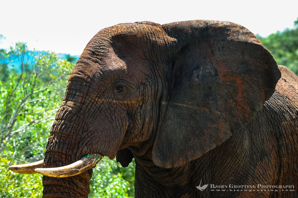 African Bush Elephant. Hluhluwe-Umfolozi Game Reserve, South Africa.