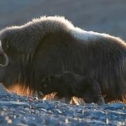 A female muskox and her calf. Alaska