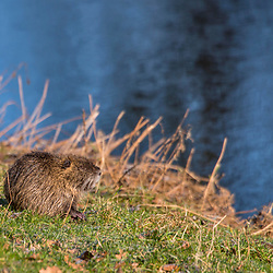 """Ratão-do-banhado (Myocastor coypus) fotografado na Alemanha, na Unição Européia - Europa. Registro feito em 2016.<br /> ⠀<br /> <br /> ENGLISH: River Rat photographed in Germany, in European Union - Europe. Picture made in 2016."""