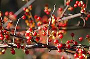 Autumn berries of the Bittersweet vine (Celastrus scandens).
