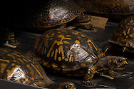 Turtle specimen, part of Tulane University's Natural History Museum collection.