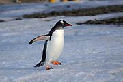 Gentoo Penguin, Pygoscelis  papua walking on ice