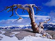 Skeleton Jeffrey Pine atop Sentinel Dome, Yosemite National Park, California.