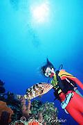 female diver and Nassau grouper, Epinephelus striatus, critically endangered species, Hogsty Reef Atoll, Bahamas ( Western Atlantic Ocean ) MR 161