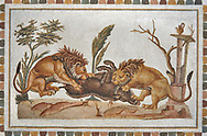 Picture of a Roman mosaics design depicting Lions eating a boar, from the ancient Roman city of Thysdrus. 2nd century AD, House of the Dionysus Proccession. El Djem Archaeological Museum, El Djem, Tunisia. .<br /> <br /> If you prefer to buy from our ALAMY PHOTO LIBRARY  Collection visit : https://www.alamy.com/portfolio/paul-williams-funkystock/roman-mosaic.html  . Type -   El Djem   - into the LOWER SEARCH WITHIN GALLERY box. Refine search by adding background colour, place, museum etc<br /> <br /> Visit our ROMAN MOSAIC PHOTO COLLECTIONS for more photos to download  as wall art prints https://funkystock.photoshelter.com/gallery-collection/Roman-Mosaics-Art-Pictures-Images/C0000LcfNel7FpLI
