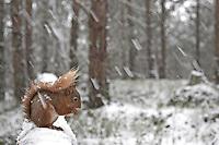 Red squirrel (Sciurus vulgaris) in snow- laden forest, Cairngorms National Park, Scotland.