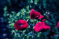 Lensbaby Poppy Bloom Macro Series