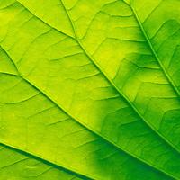 Close-up of a backlit lotus leaf (Nelumbo nucifera), Kenilworth Park and Aquatic Gardens, Washington, DC.