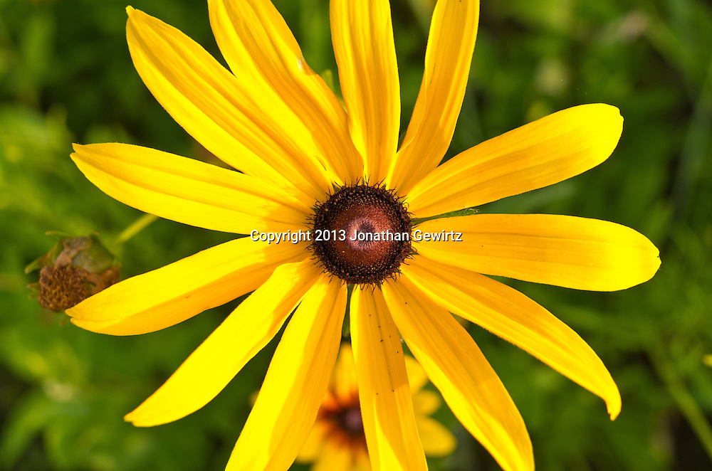 Black-eyed Susan flowers in a Maryland garden. WATERMARKS WILL NOT APPEAR ON PRINTS OR LICENSED IMAGES.