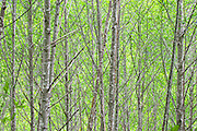 Red Alder (Alnus rubra) forest in spring green leaves with branches Olympic National Forest in Washington, USA