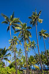 Coconut Palms, Cocos nucifera, Puuhonua or Pu`uhonua o Honaunau or Place of Refuge National Historical Park, Honaunau, Big Island, Hawaii, USA