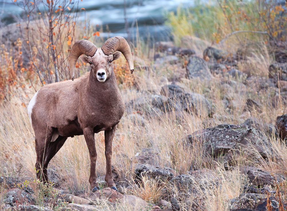 Bighorn Sheep Ram (Ovis canadensis) pauses in his return to higher ground after a visit to the water in the Grande Ronde River Canyon, WA USA