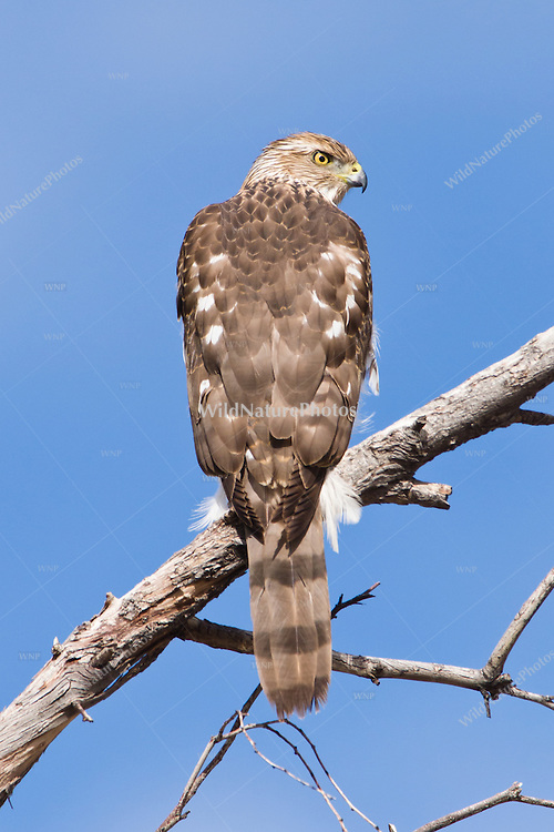 Cooper's Hawk, immature (Accipiter cooperii) hunting from perch in tree (Tucson, AZ)