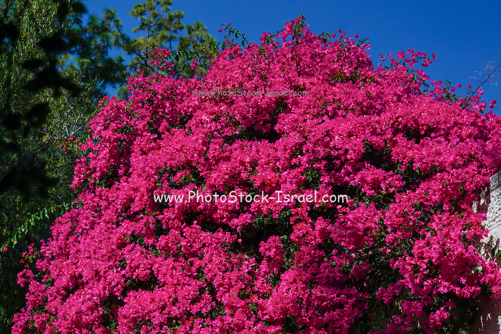 Flaming red flowers of a large Bougainvillea bush