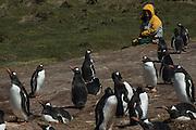 Renee Bish and Rockhopper Penguin.<br /> Pebble Island. Off north coast of West Falkland. FALKLAND ISLANDS.