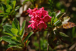harig alpenroosje, Rhododendron hirsutum