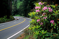 Rhododendron flowers bloom next to US 101, the Redwood Highway, Redwood National Park, California