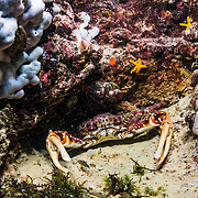A channel clinging crab (Mithrax spinosissimus), also known as the West Indian spider crab, reef or spiny spider crab, or coral crab, hiding in a cavern in an alkaline pond in The Bahamas.