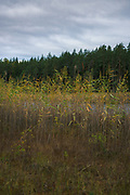 Reeds (Phragmites australis) growing on narrow fen along small lake in pine forests, near Cirgaļi, Latvia Ⓒ Davis Ulands | davisulands.com