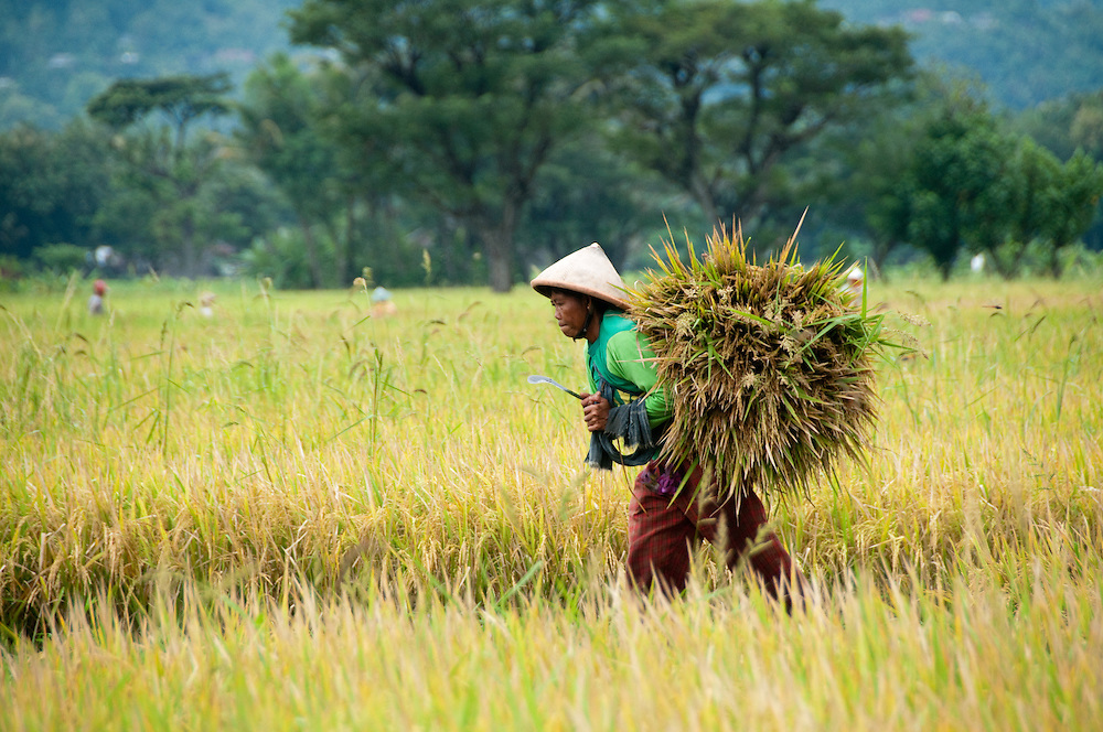 Indonesia, Java. Rice harvesting.