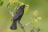 Bronzed Cowbird - Molothrus aeneus - Adult female