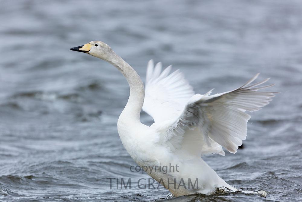 Whooper Swan, Cygnus cygnus flapping wings at Welney Wetland Centre, Norfolk, UK