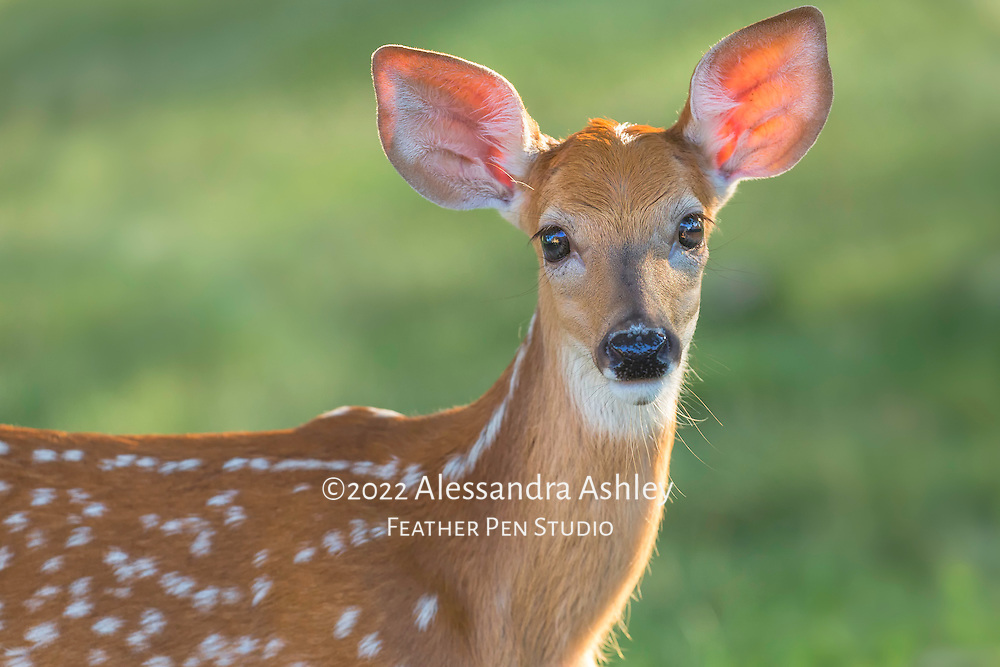 Close-up portrait of white-tailed deer fawn, Odocoileus virginianus, with rim lighting from late afternoon sun.