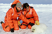 Ecotourists in dry suits pet a tiny harp seal (Phoca groenlandica) laid out on the Arctic sea ice