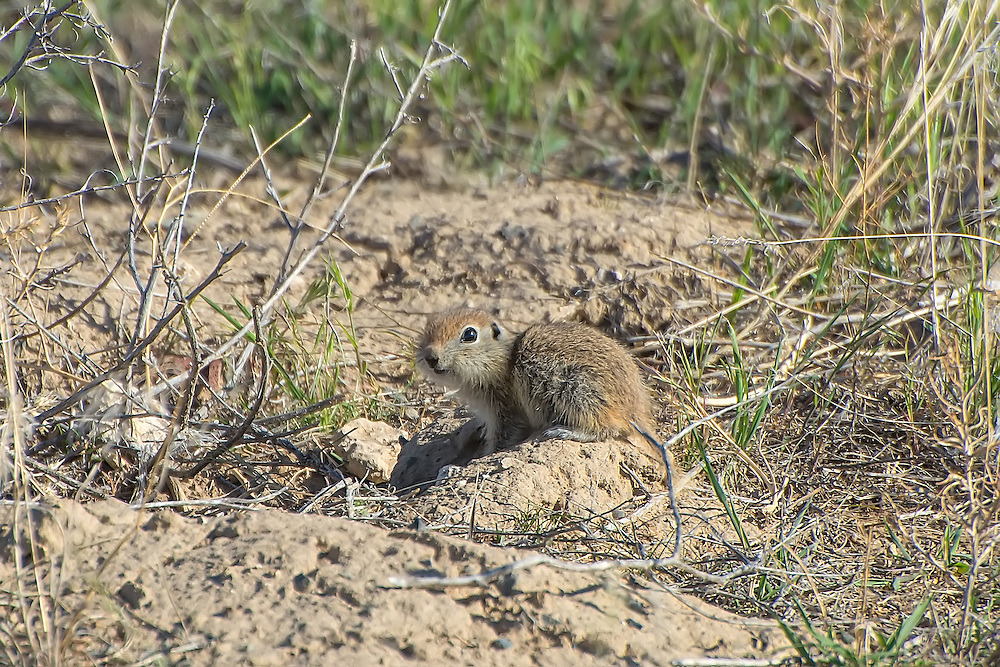 The Pacific Northwest's smallest species of ground squirrel, and also the plainest in regards to having to no stripes, no interesting color or particular characteristics which make them special - besides being incredibly cute.